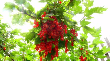 смородина : Red currants in the garden. Bush of red currant berries. A bunch of red currants on a branch. Стоковые видеозаписи