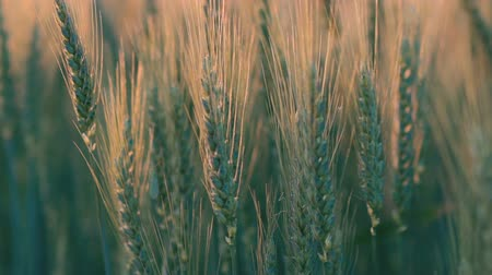 otruby : Close-up of green ears of wheat