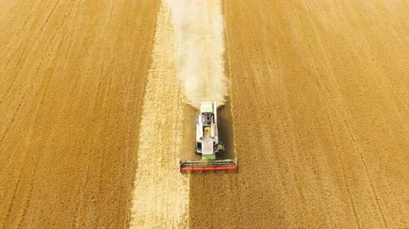 сельскохозяйственный : Combine harvester gathering wheat crop. Aerial view.