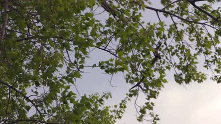quaking : Leaves of poplar against the sky Stock Footage
