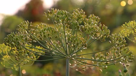 нечеткий : Umbrella dill with wind shakes