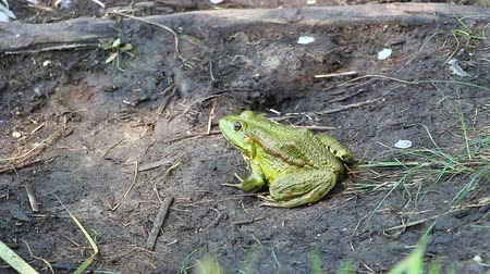 sivilceli : Green Frog sitting on the ground not moving 2 Stok Video