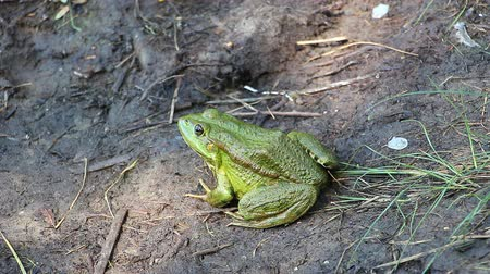 sivilceli : Green Frog sitting on the ground not moving Stok Video