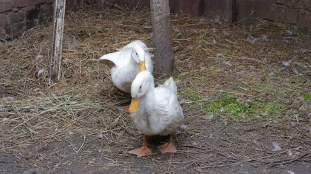 evcil : Two domestic white duck in his paddock Stok Video