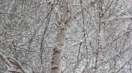 pelyhes : Snow falls in large flakes on the background of birch branches 1