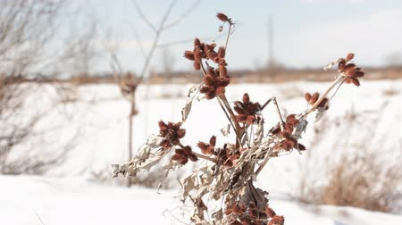 devedikeni : The wind shakes the Dry branch cocklebur spiny . In the background the snow