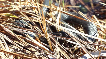 hiss : Grass snake in the wild. Grass snake sticks out its tongue and crawled through the dry grass 4 Stock Footage