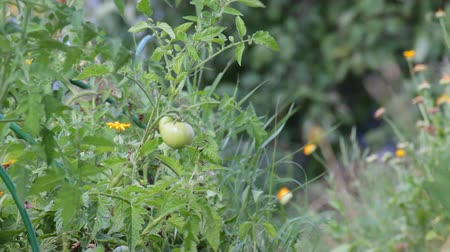 çiftlik : Unripe fruit of tomatoes in the garden shakes a slight breeze