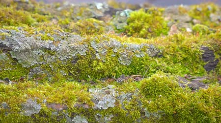 liken : Green moss growth on the trunk of an old tree