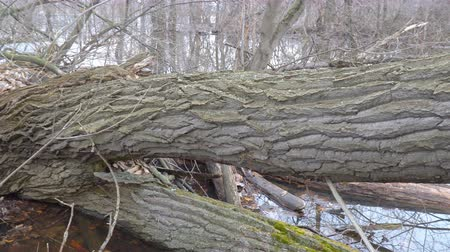 dead wood : The trunk of a fallen tree in the forest