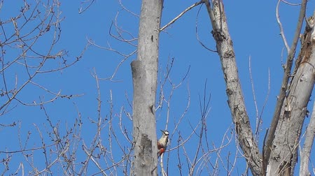 dead forest : Woodpecker on the trunk of a dry tree. Dendrocopos medius
