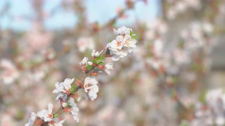 oriental cherry tree : A branch of cherry blossoms in the garden. Blooming cherry