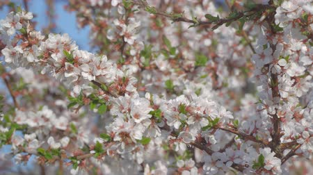 oriental cherry tree : Branches of cherry blossoms in the garden. Blooming cherry. Selective focus Stock Footage