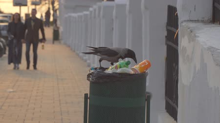 ghetto streets : Russia, Samara, May 01, 2018: A crow is sitting on a garbage bin and looks for food in the trash