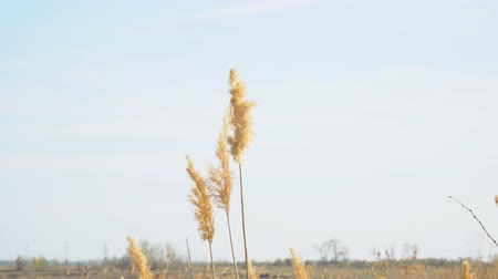 sways : Dry grass swaying in the wind. Phalaris arundinacea or Reed canary grass. Beautiful marsh grass.