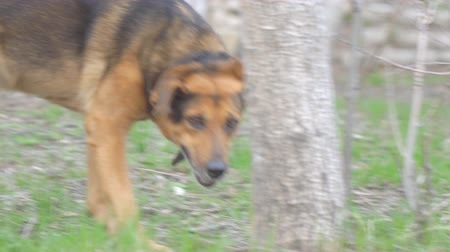 large breed dog : Dog in a collar, like a shepherd looking and passing by the camera