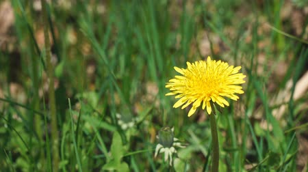 chmýří : The flower of a yellow dandelion swings the wind Dostupné videozáznamy