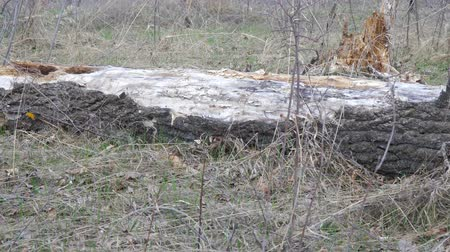 rothadó : Old dry trunk of fallen tree on the ground