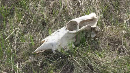 клык : The skull of a large animal on the grass. Zooming