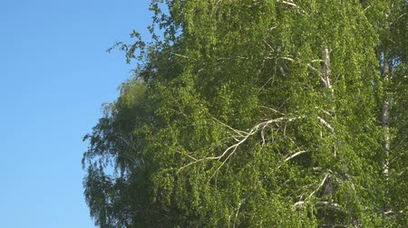 ciclone : Branches and leaves of birch tremble in the wind
