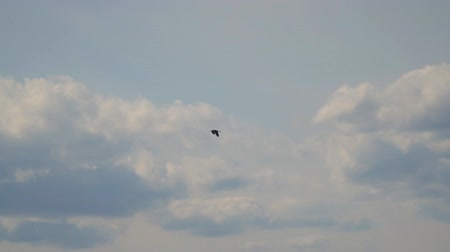 flap : Bird Heron flies in the distance against the cloudy sky. Slow motion