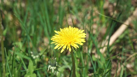 lightweight : The flower of a yellow dandelion swings the wind Stock Footage
