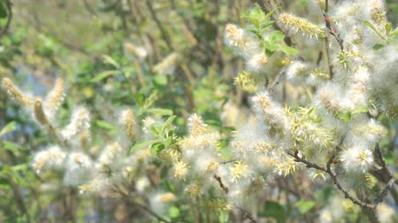 brisa : Fluff from the buds of the willow in the wind. Salix acutifolia Pendulifolia Stock Footage