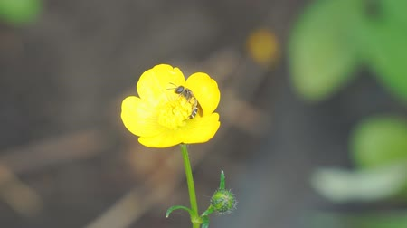 upper peninsula : Bee on yellow Buttercup flower