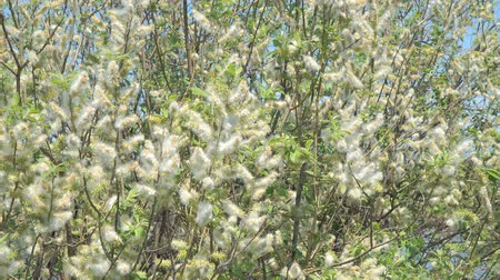 alergia : Fluff from the buds of the willow in the wind. Salix acutifolia Pendulifolia Stock Footage