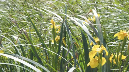 canteiro de flores : Yellow flowers in the wind. A yellow iris stirs a light breeze