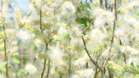 acutifolia : Fluff from the buds of the willow in the wind. Salix acutifolia Pendulifolia Stock Footage