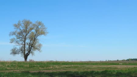 без городского : A lonely tree against a background of green grass and blue sky