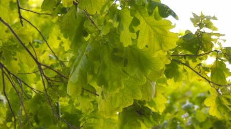 üvez ağacı : The green leaves of the oak are swaying in the wind