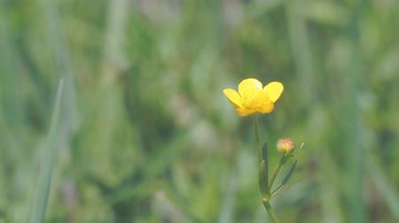 upper peninsula : Yellow Buttercup flower in a light breeze