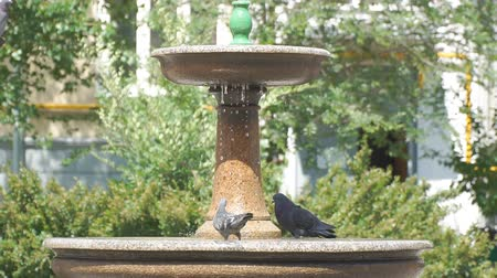 pó : Pigeons drink water from a small fountain. Slow motion