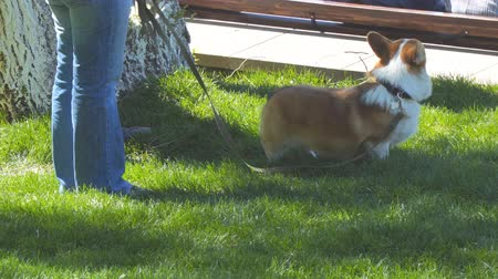 itaat : Dog of the Welsh Corgi breed in the park on the lawn on a leash with the owner