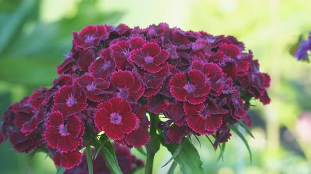 barbatus : Turkish carnation maroon on a natural background. Dianthus barbatus. Beautiful red flowers Stock Footage