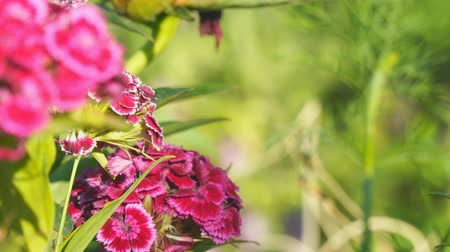 barbatus : Turkish carnation maroon on a natural background. Dianthus barbatus. Beautiful red flowers. Blurred image Stock Footage