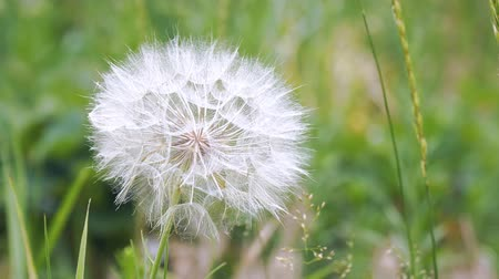 otsu : Big dandelion on natural background. Salsify-Tragopogon dubius