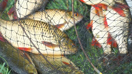 crucian : Caught Fish on the shore in a fishing cage on green grass. Rudd Fish. Selective focus. The background blur