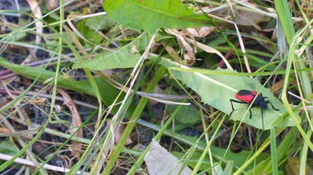 aproximação : Red Beetle Barbel crawls on the grass. Purpuricenus budensis