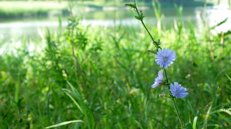 substitute : Blue flower on natural background. Flower of wild chicory endive . Cichorium intybus