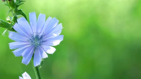 общий : Blue flower on natural background. Flower of wild chicory endive . Cichorium intybus