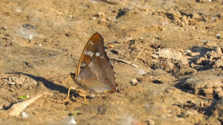 чешуекрылых : Butterfly with proboscis on brown ground. Vanessa atalanta