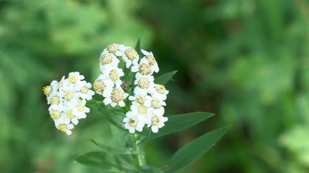 trvalka : White meadow flower yarrow on natural background