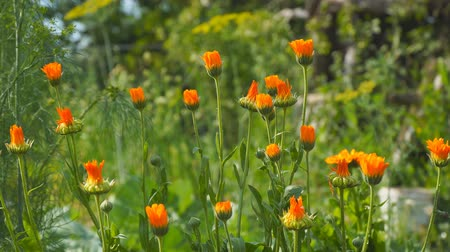 calendula officinalis : Orange flowers of marigold in the wind. Calendula officinalis