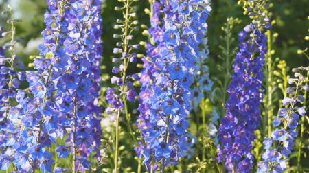 spiky : Blue flower is the delphinium
