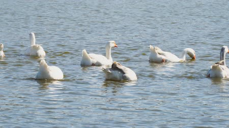 nibble : White geese in the village pond dive into the water and feed themselves