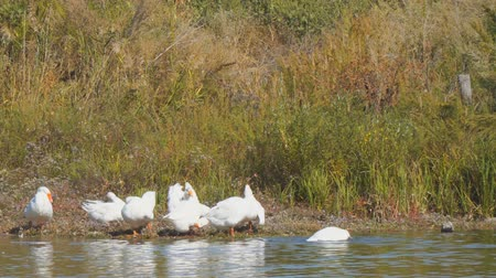 nibble : White geese by the river or lake. Geese clean feathers