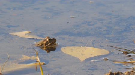 horned : Frog in the water next to the yellow autumn leaves